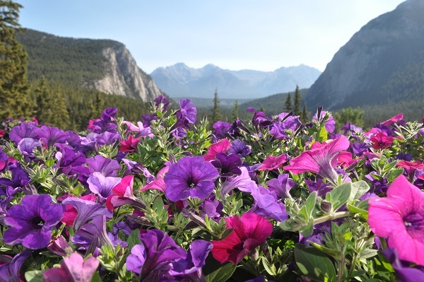 Flowers baskets in Banff are overflowing with the mountains in the background.